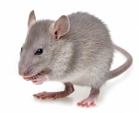 comment tuer les souris dans vos murs ou cloisons rapidement. Black Bedroom Furniture Sets. Home Design Ideas