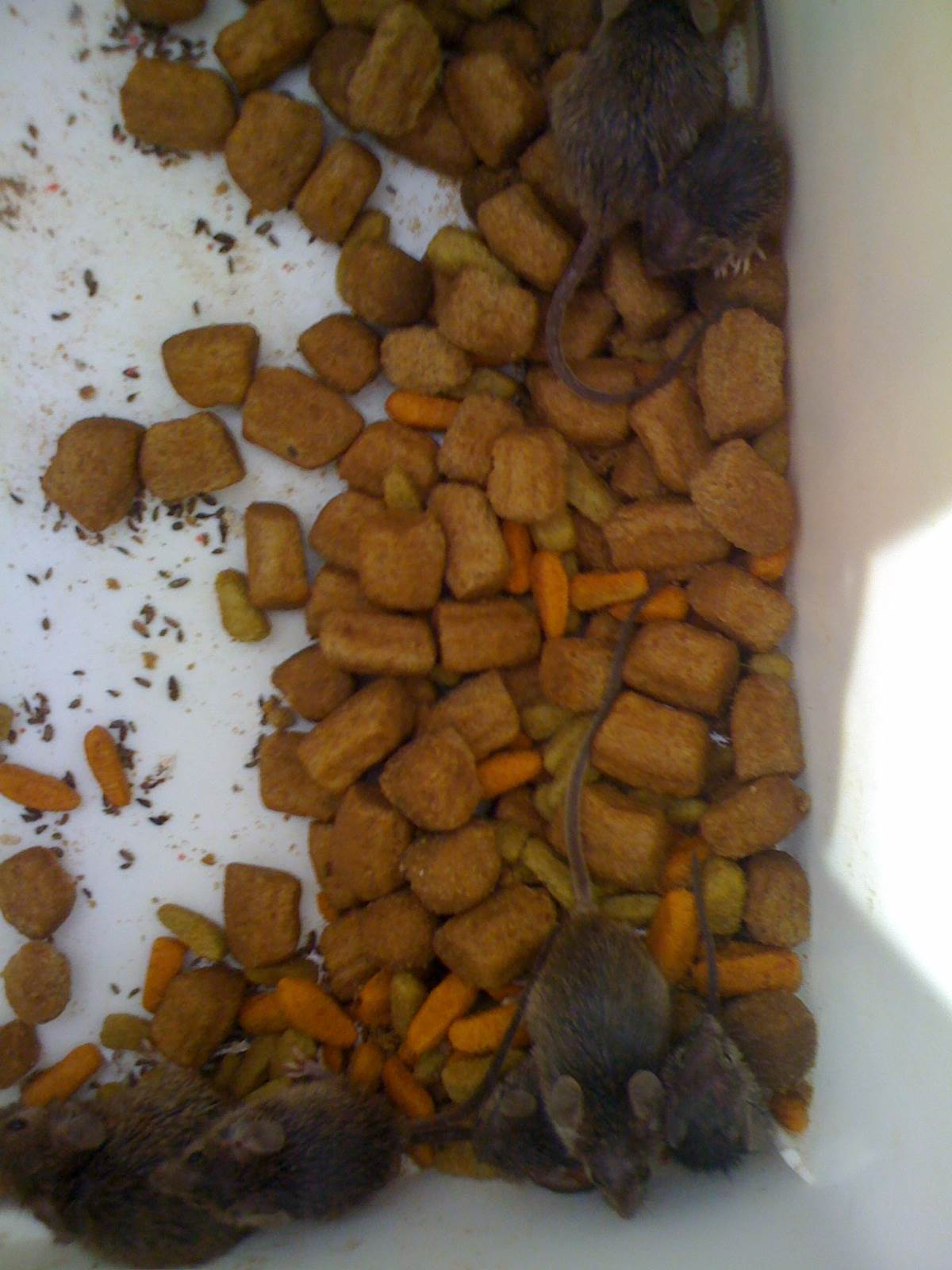 Comment liminer des rats dans votre grenier ou vos combles - Solution radicale contre les souris ...