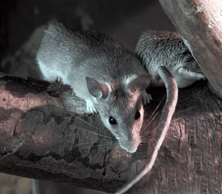 comment proteger son habitation des rats et des souris. Black Bedroom Furniture Sets. Home Design Ideas